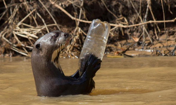 Otter with plastic bottle