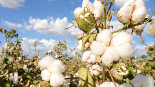 Biodegradable Cotton